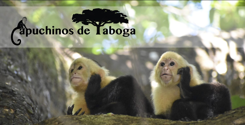 Capuchins @ Taboga