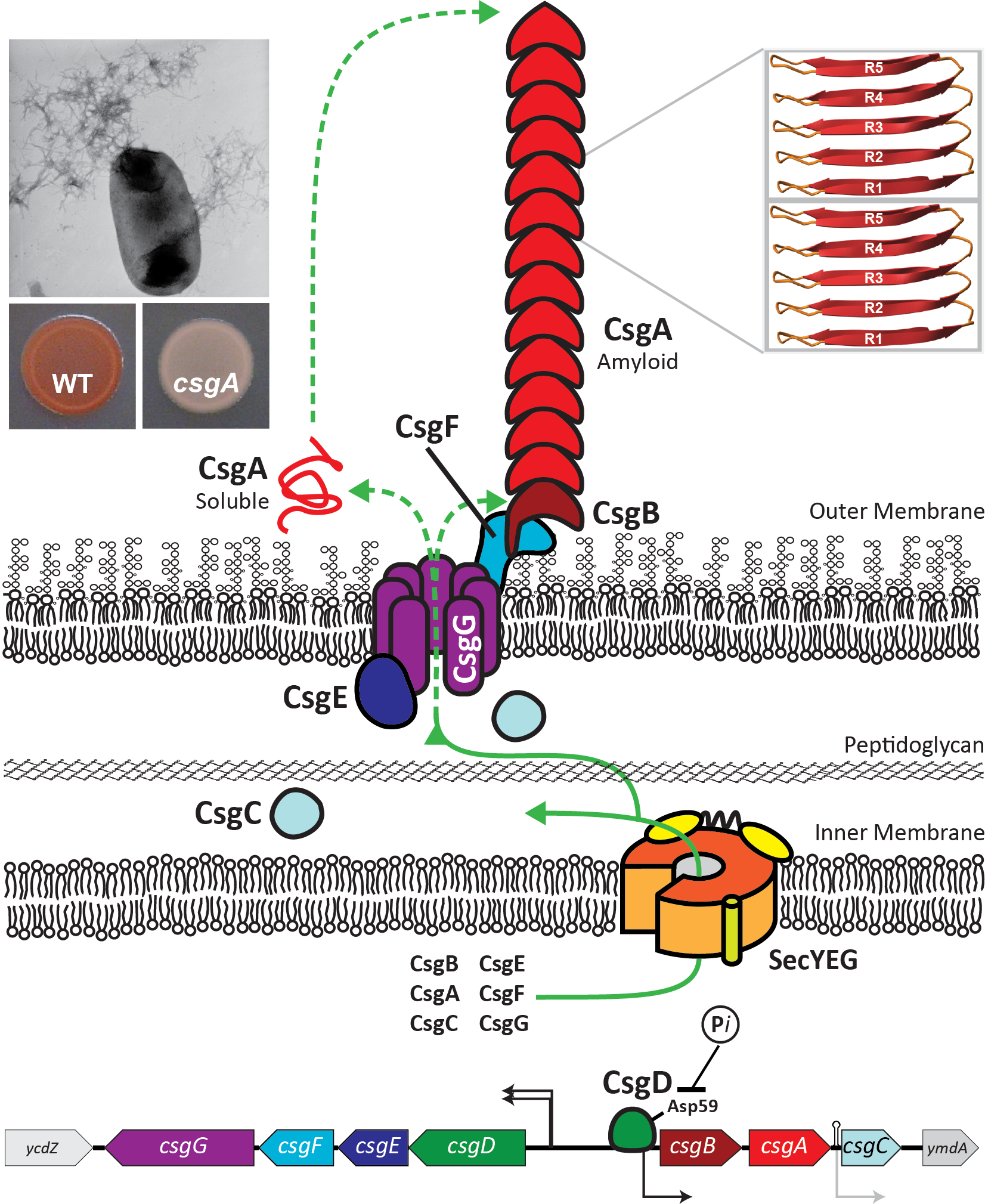 Model of curli biogenesis Excluding CsgD, the master curli regulator, all Csg proteins have Sec-dependent signal sequences allowing their secretion into the periplasm. The lipoprotein CsgG forms a pore like structure in the outer membrane. The major subunit protein CsgA and the nucleator CsgB are secreted to the cell surface in a CsgG and CsgE-dependent fashion. CsgF associates with the outer membrane and is required for cell association of the minor curli fiber subunit CsgB. Situated at the cell surface, CsgB nucleates soluble, unstructured CsgA into a highly ordered amyloid fiber. Curli production can be visualized by Congo red binding which is absent in a csgA mutant and by transmission electron microscopy (left inserts). Also shown are two CsgA subunits interacting in a cross-β conformation with the R1-R5 interaction depicted.