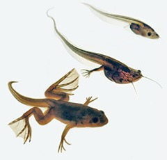 Metamorphosis of Xenopus laevis