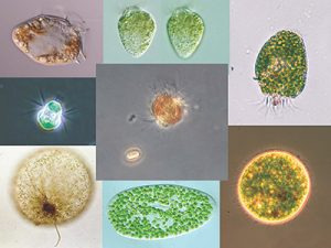 A few charismatic examples of planktonic acquired phototrophs.