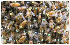 An artificial swarm with individually marked worker honey bees.