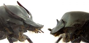 Major and minor morphs of the horn-polyphenic beetle Onthophagus taurus.