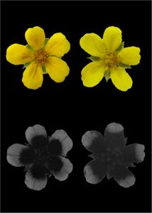 Uniformly yellow flowers of Potentilla anserina.