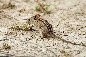 African striped mouse (Rhabdomys pumilio)
