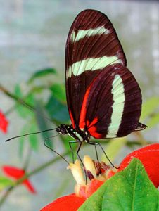 Butterfly Heliconius pachinus feeding on a flower.