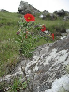 Calibrachoa sendtneriana, endemic to the high-altitude grasslands in Santa Catarina, Brazil.