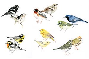 Various species of New World warblers.