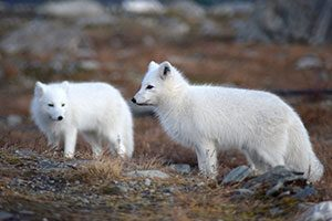 Mismatched Arctic foxes in Sweden.