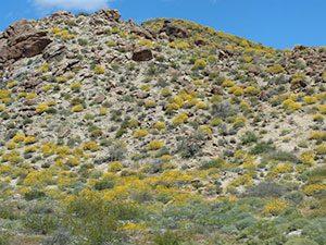 Encelia farinosa dominates landscapes in the Mojave and Sonoran Deserts