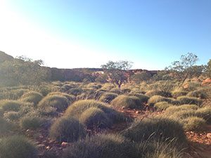 C4 ecosystems are widespread throughout the subtropics. An example of a Spinifex spp. savannah in NT, Australia.