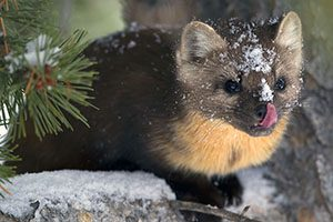 Marten with snow on its nose and head, licking its nose. From Mammal Images Library by L.L. Master