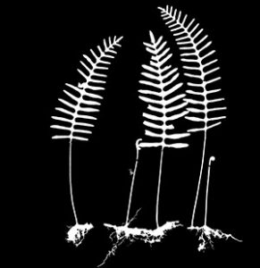 Resurrection fern (Pleopeltis polypodioides) specimen silhouette; similar silhouettes are used to train deep learning models to analyze the shapes of fern specimens from across the globe.