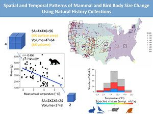 Slide showing spatial and temporal patterns of mammal and bird body size change using natural history collections