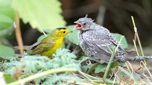 A brown headed cowbird nestling (right) being raised by a warbler adult. Image credit: Audubon, Beth Hamel