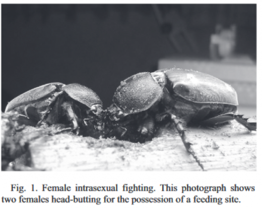 two female horned beetles are head-butting for possession of a feeding site