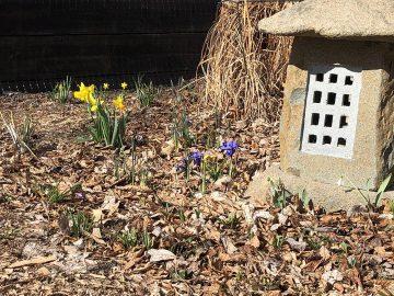 Spring flowers peeking through the leaf litter at Scott's house