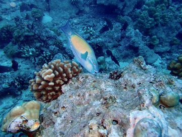 A terminal phase (adult male) bullethead parrotfish (Chlorurus spilurus) taking a bite of turf algae on the reef in Mo'orea, French Polynesia. Image: Katrina Munsterman