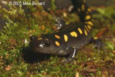ambystoma_maculatum_oct05b