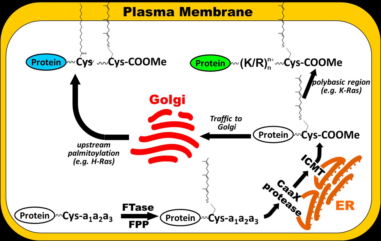Protein prenylation pathway