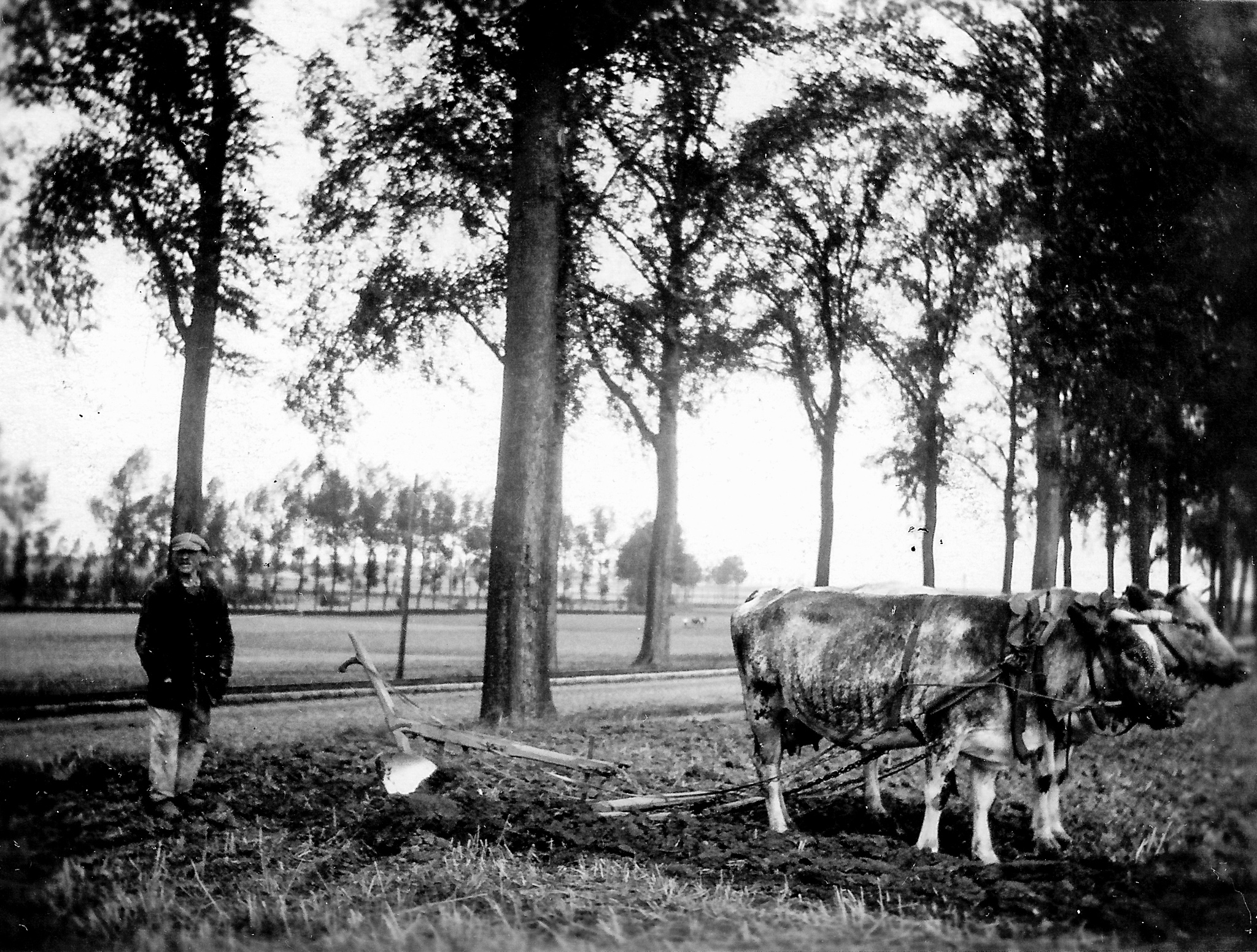 black and white photo of a man with oxen