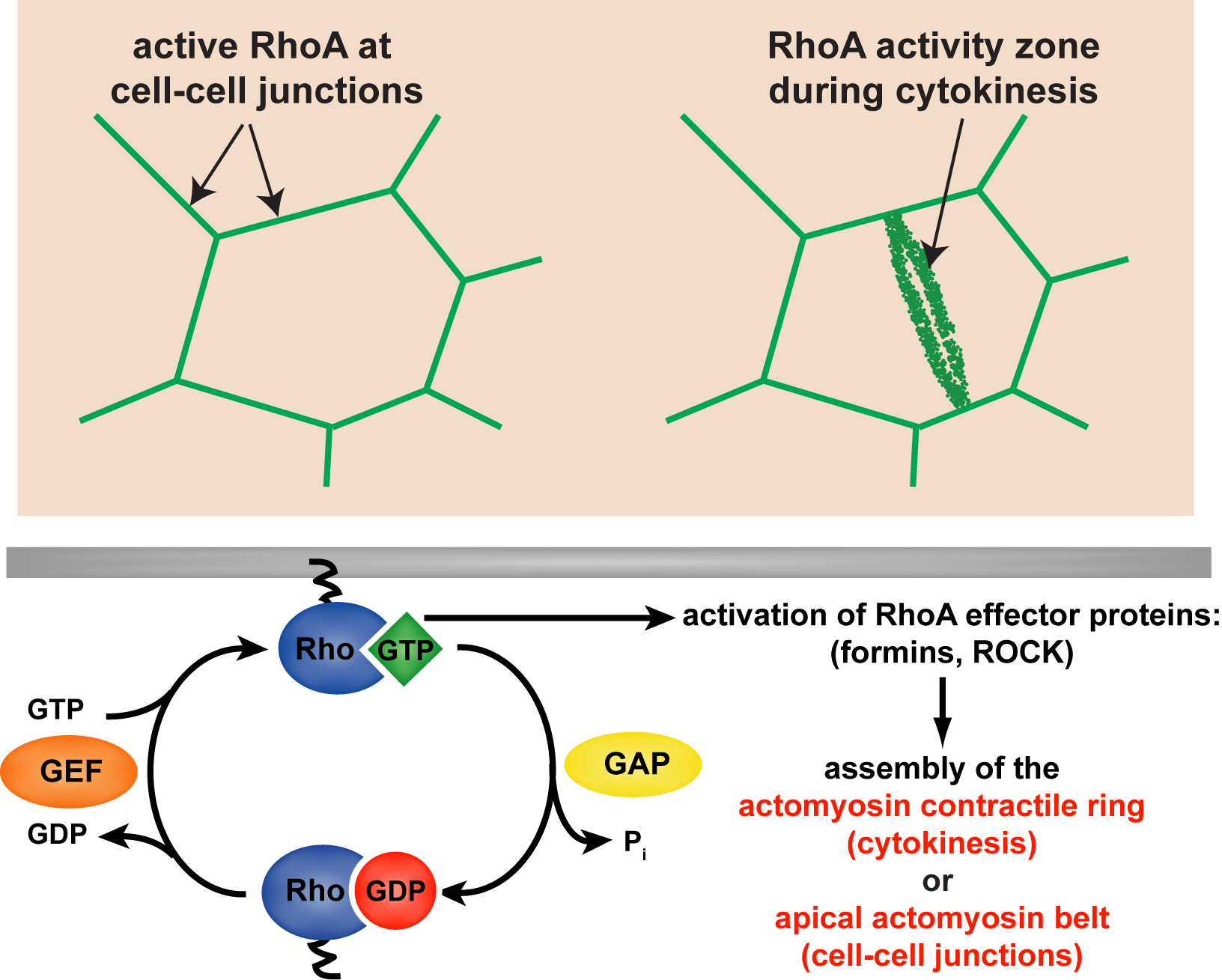 Research miller lab we know that precisely localized zones of active rhoa a small gtpase that promotes actomyosin contractility are required both for cytokinesis and pooptronica Gallery