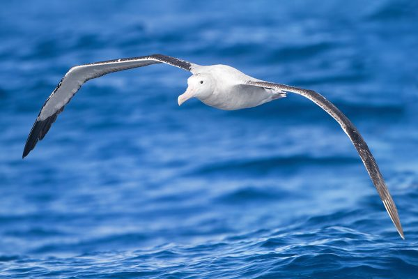 Wandering Albatross (Diomedea exulans) in flight, East of the Tasman Peninsula, Tasmania, Australia