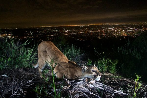 A mountain lion stretching, behind and below it are the city lights at night.