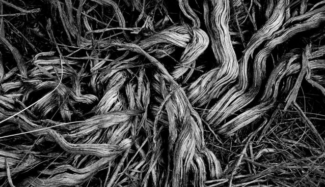 Black and white photo of dried and tangled grasses