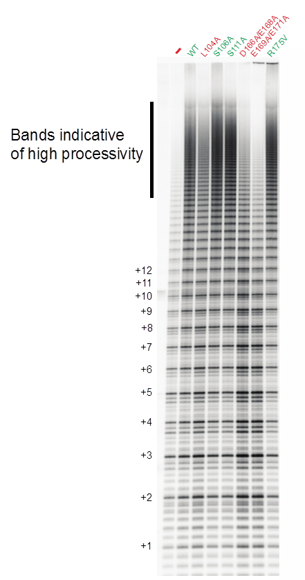 Direct telomerase activity assay. Telomerase expressed in HeLa is purified and assayed for telomeric DNA extension. Shown is how WT TPP1 increases telomerase processivity (ability to synthesize bands running higher on the gel), whereas some mutants (in red) are greatly defective.