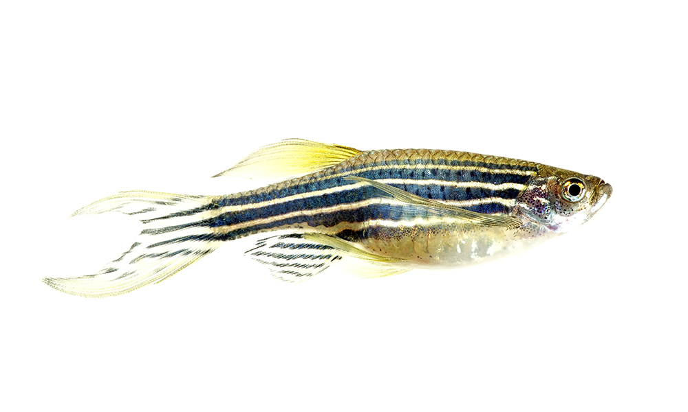 zebra fish white background
