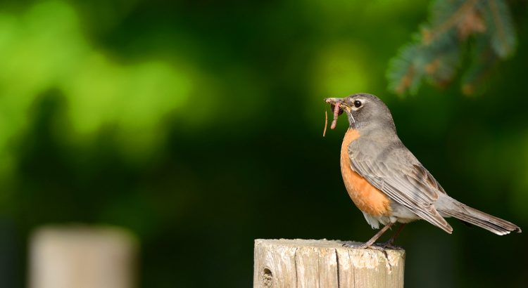 robin bird with worm in its beak
