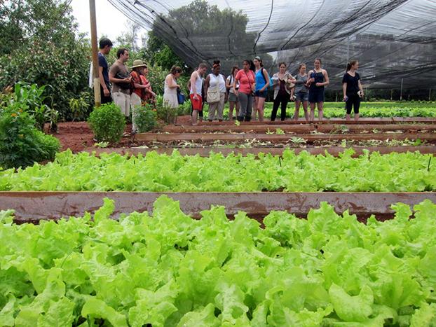 622 lettuce
