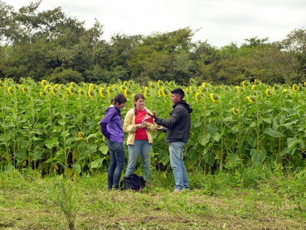 622 sunflowers
