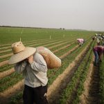Carrots are picked near Arvin, Calif., Aug. 20, 2020. (Brian L. Frank/The New York Times)