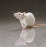 white_rat_square