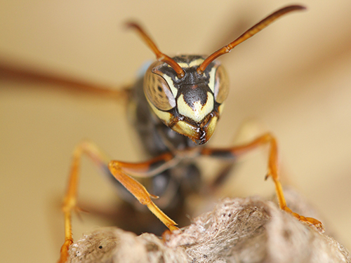 wasp_500px