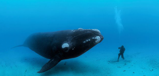 southern-right-whale-ocean-soul-skerry_43469_600x450