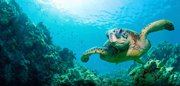 Sea turtles or marine turtles are turtles that inhabit all of the world's oceans except the Arctic. Most species of sea turtle are endangered. wikipedia.org