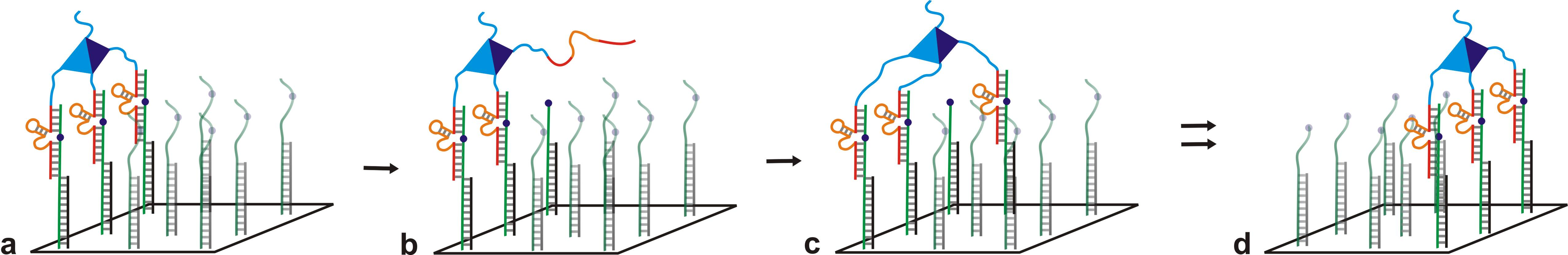 Figure 1. Spider walking over a surface a) The legs are bound to DNA strands. b) A leg dissociates from the strand it has just cleaved and is free to bind to another strand as shown in c. d) After a long period of time, the majority of the neighboring strands are cleaved and the spider migrates towards the full length strands.