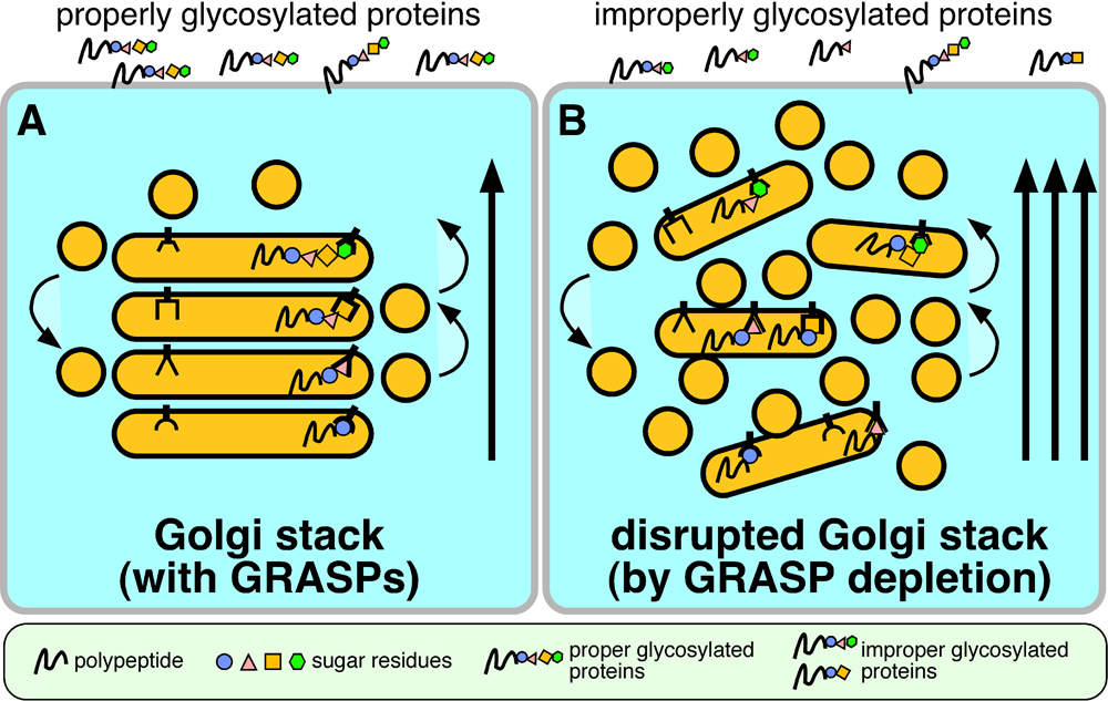 Fig 3. Stacking_trafficking_glyco